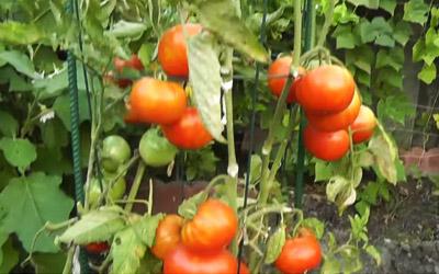 ein gew chshaus f r tomaten selber bauen teil 2. Black Bedroom Furniture Sets. Home Design Ideas